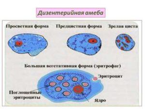 Разновидности дизентерийной амебы