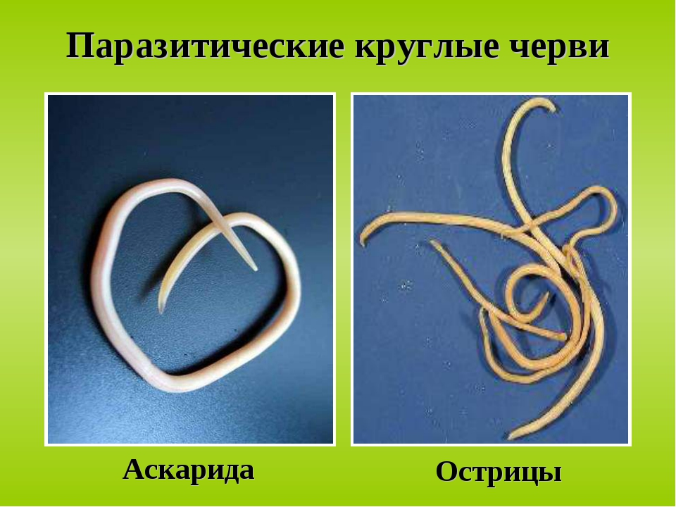 Виды круглых червей