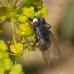 Вольфартовая муха