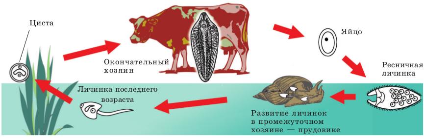 Общий цикл развития печеночного сосальщика