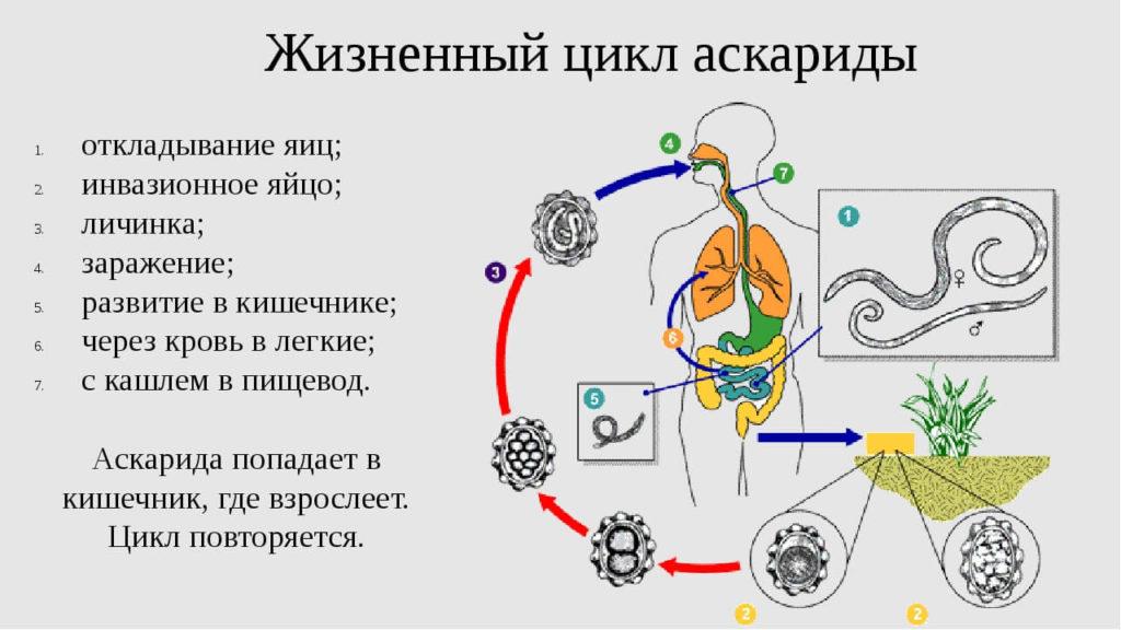 Этапы развития паразита