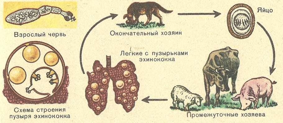 Стадии развития паразита