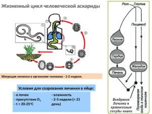Жизненный цикл токсокары
