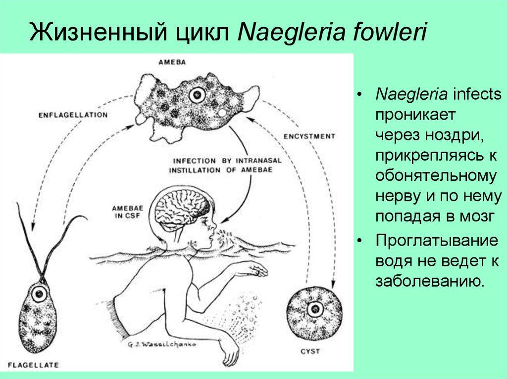 Неглерия фоулера