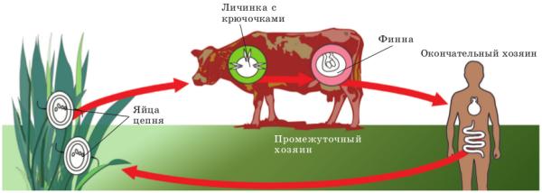 Заражения бычьим цепнем