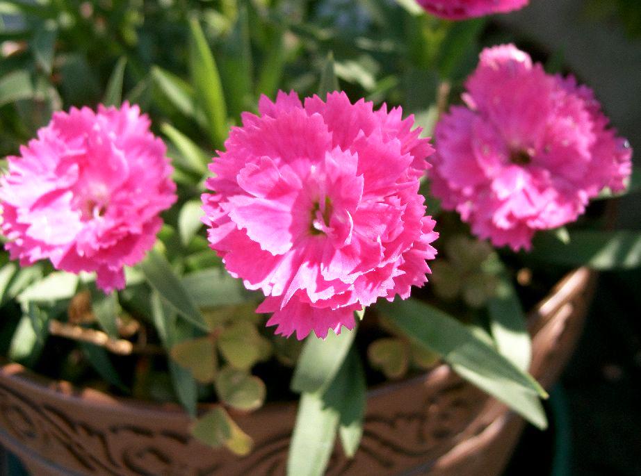 Цветки гвоздики
