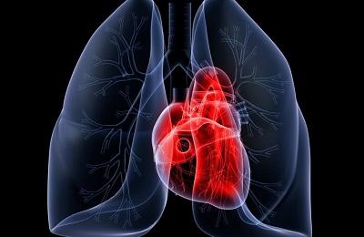 Сердце и легкие