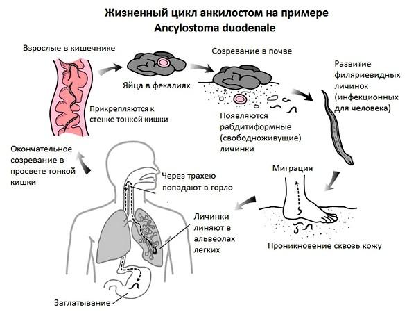 Анкилостомы пути заражения