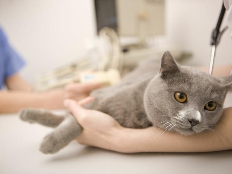 Симптомы идиопатического цистита у кошек